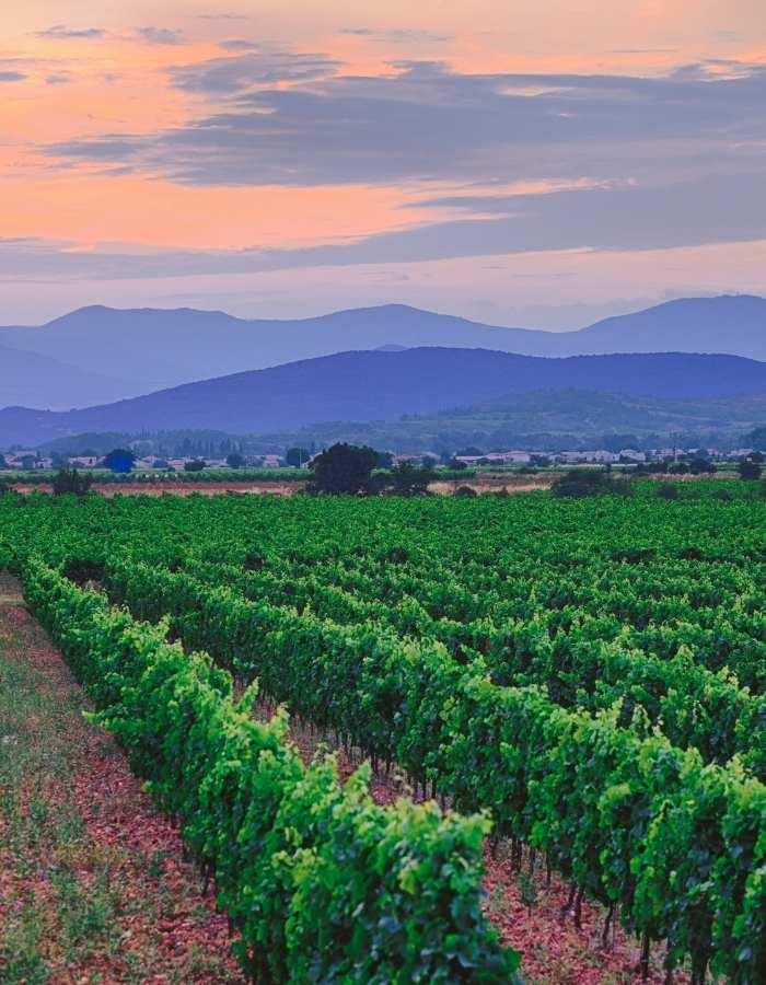 vigne-languedoc-roussillon